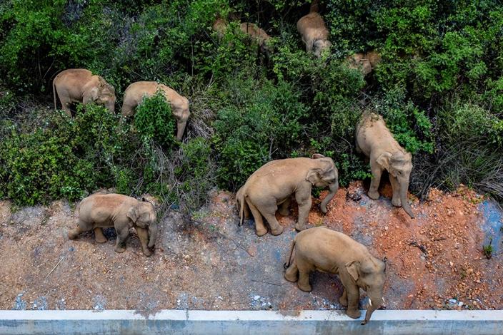 雲南亞洲大象築構出美麗中國的圖畫。(AP圖片)
