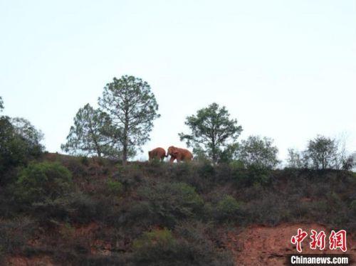 直擊亞洲象群北移:前線指揮部的「追象」24小時