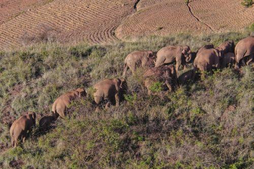 雲南北移亞洲象群在峨山縣大龍潭鄉小範圍活動